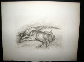 Howitt 1811 Antique Etching. Hare Rabbit & Bird
